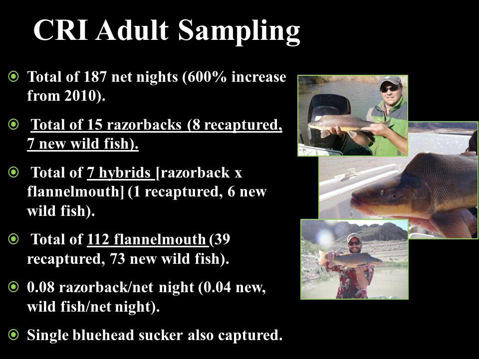 CRI Adult Sampling  Total of 187 net nights (600% increase from 2010).