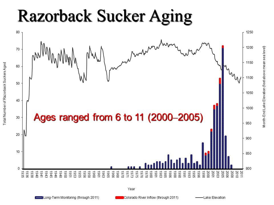 Razorback Sucker Aging Ages ranged from 6 to 11 (2000 – 2005)