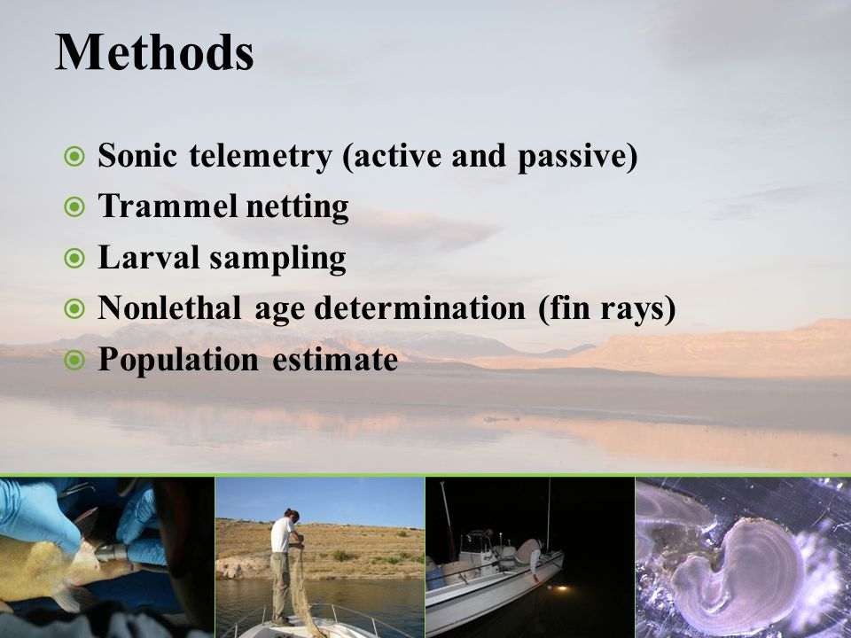 Methods  Sonic telemetry (active and passive)  Trammel netting  Larval sampling  Nonlethal age determination (fin rays)  Population estimate