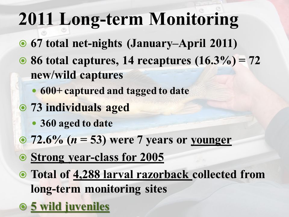 2011 Long-term Monitoring  67 total net-nights (January–April 2011)  86 total captures, 14 recaptures (16.3%) = 72 new/wild captures 600+ captured and tagged to date  73 individuals aged 360 aged to date  72.6% (n = 53) were 7 years or younger  Strong year-class for 2005  Total of 4,288 larval razorback collected from long-term monitoring sites  5 wild juveniles