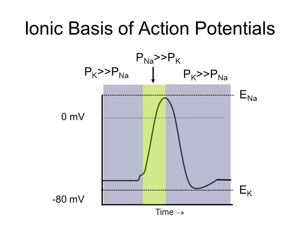 Ionic Basis of Action Potentials 0 mV -80 mV P K >>P Na P Na >>P K P K >>P Na E Na EKEK Time 