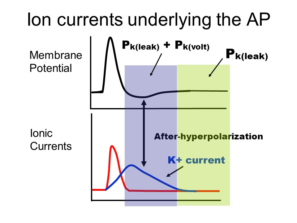 Ion currents underlying the AP Membrane Potential Ionic Currents K+ current After-hyperpolarization P k(leak) + P k(volt) P k(leak)