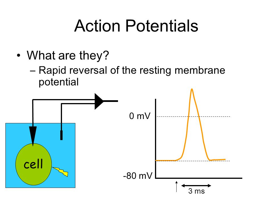 Ion currents underlying the AP 1.The Na+ current activates quickly and then inactivates quickly 2.The K+ current activates more slowly and persists longer