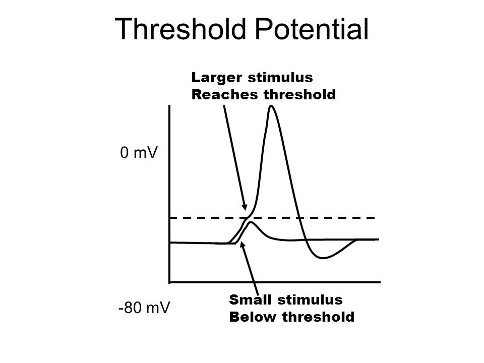Threshold Potential 0 mV -80 mV Small stimulus Below threshold Larger stimulus Reaches threshold