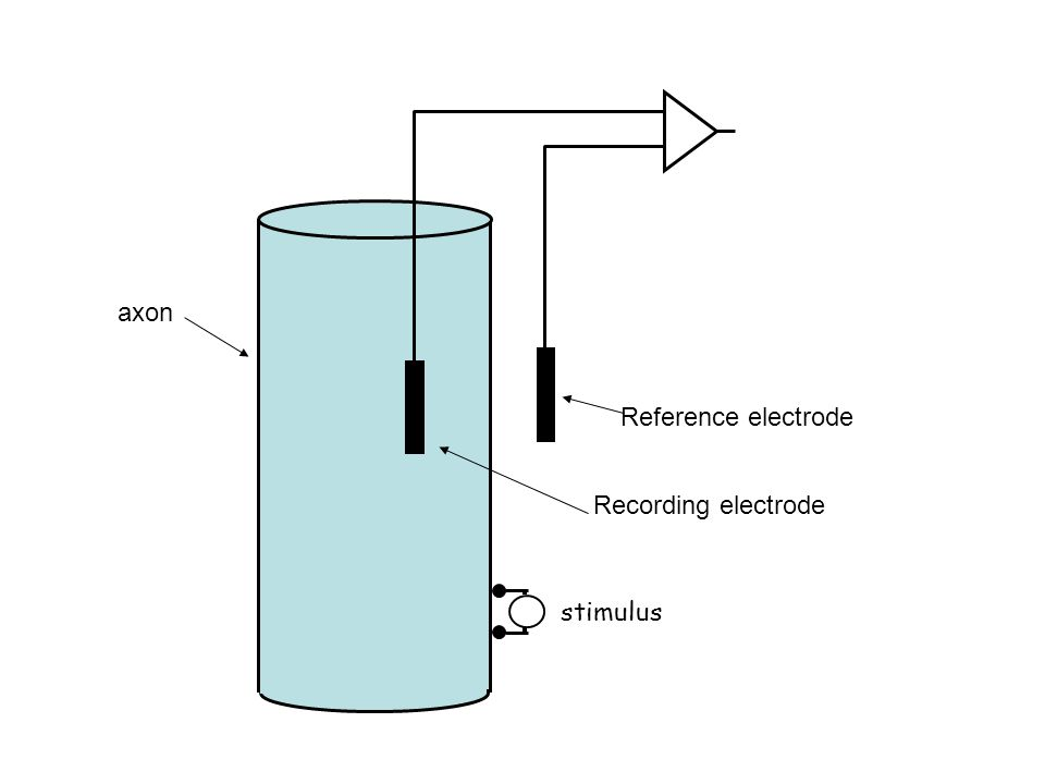 axon Recording electrode Reference electrode stimulus