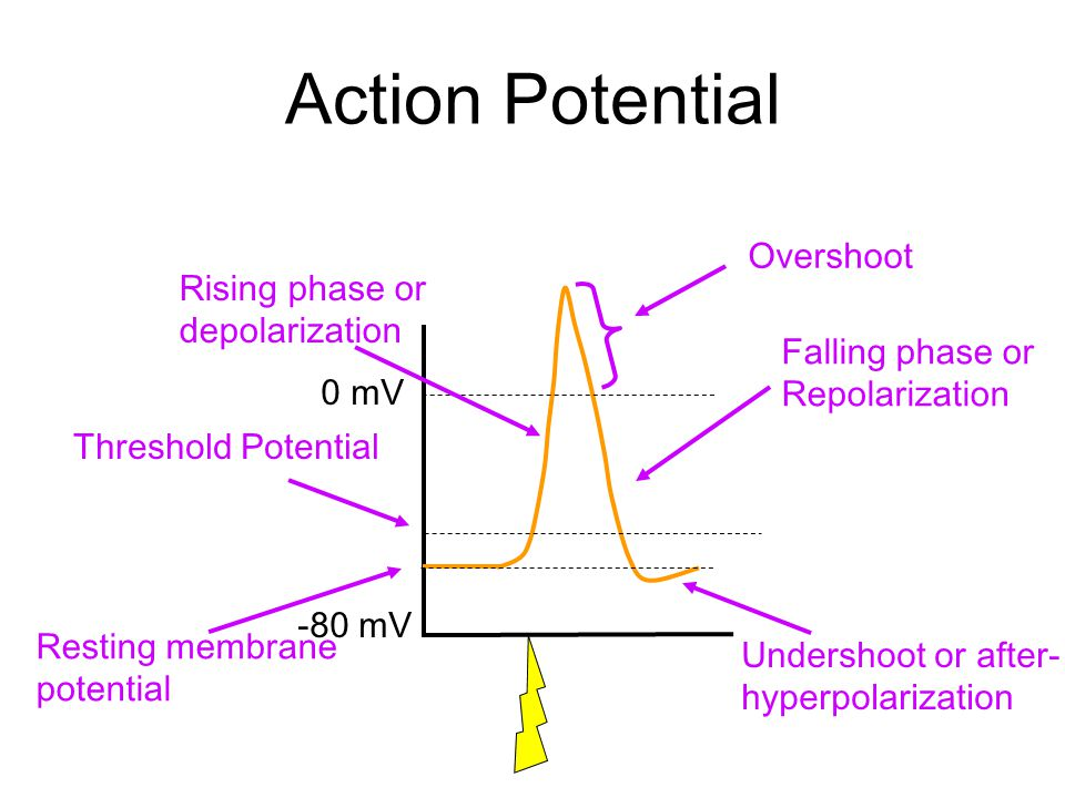 Stimulus & Threshold The stimulus depolarizes the membrane –Experimentally applied current –Synaptic potential –Receptor potential