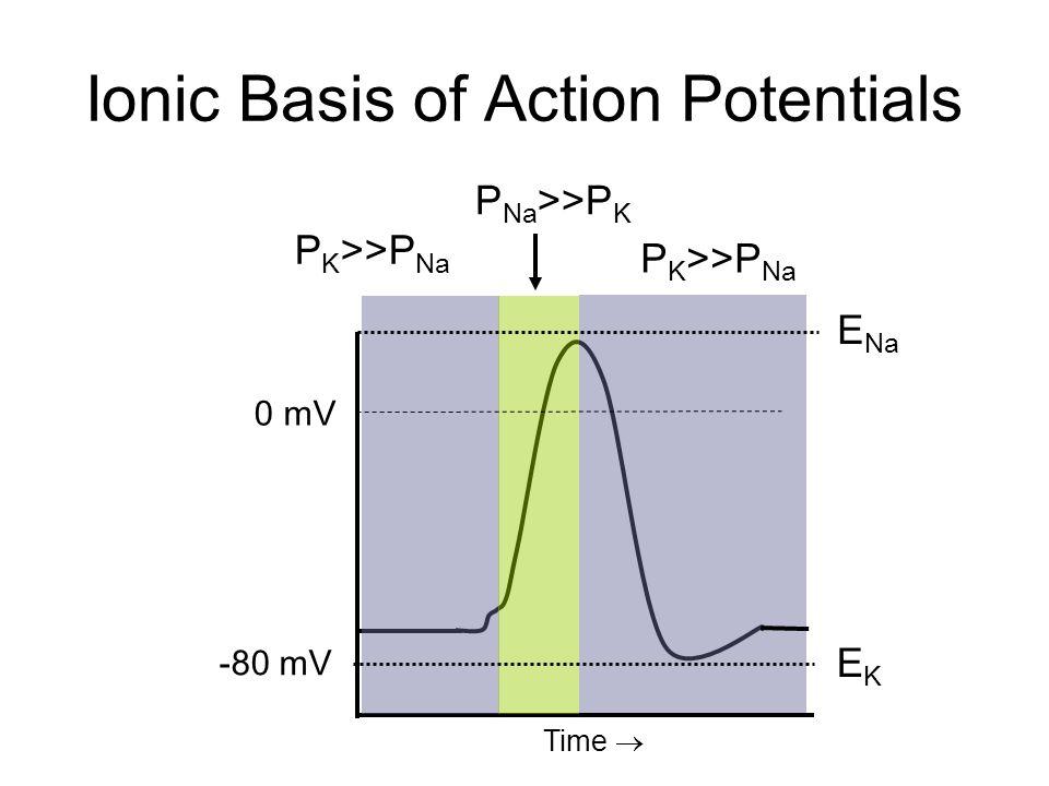 Threshold Potential 0 mV -80 mV Small stimulus Below threshold Larger stimulus Reaches threshold