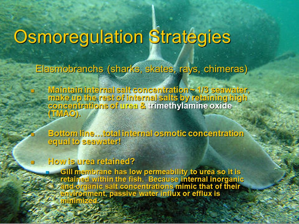 Osmoregulation Strategies Elasmobranchs (sharks, skates, rays, chimeras) Maintain internal salt concentration ~ 1/3 seawater, make up the rest of inte