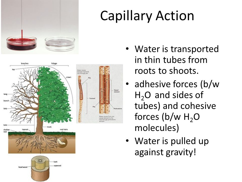 Capillary Action Water is transported in thin tubes from roots to shoots.