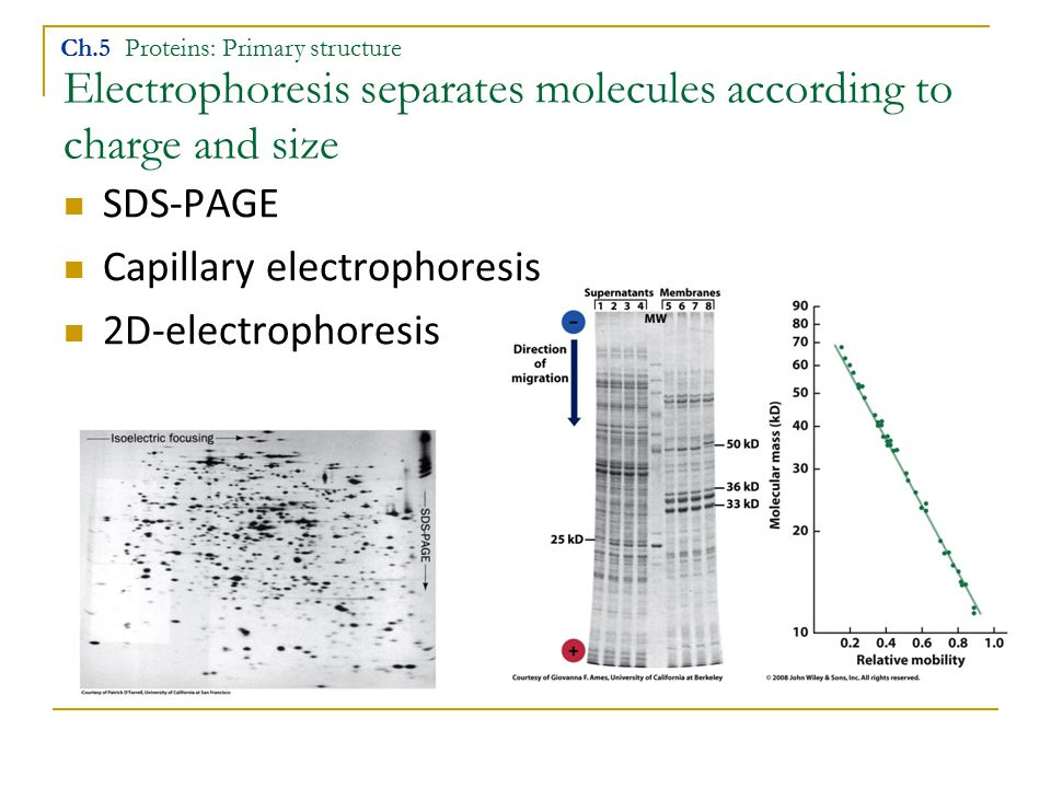 Electrophoresis separates molecules according to charge and size SDS-PAGE Capillary electrophoresis 2D-electrophoresis Ch.5 Proteins: Primary structur
