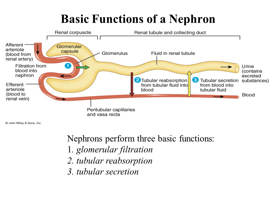Basic Functions of a Nephron Nephrons perform three basic functions: 1.