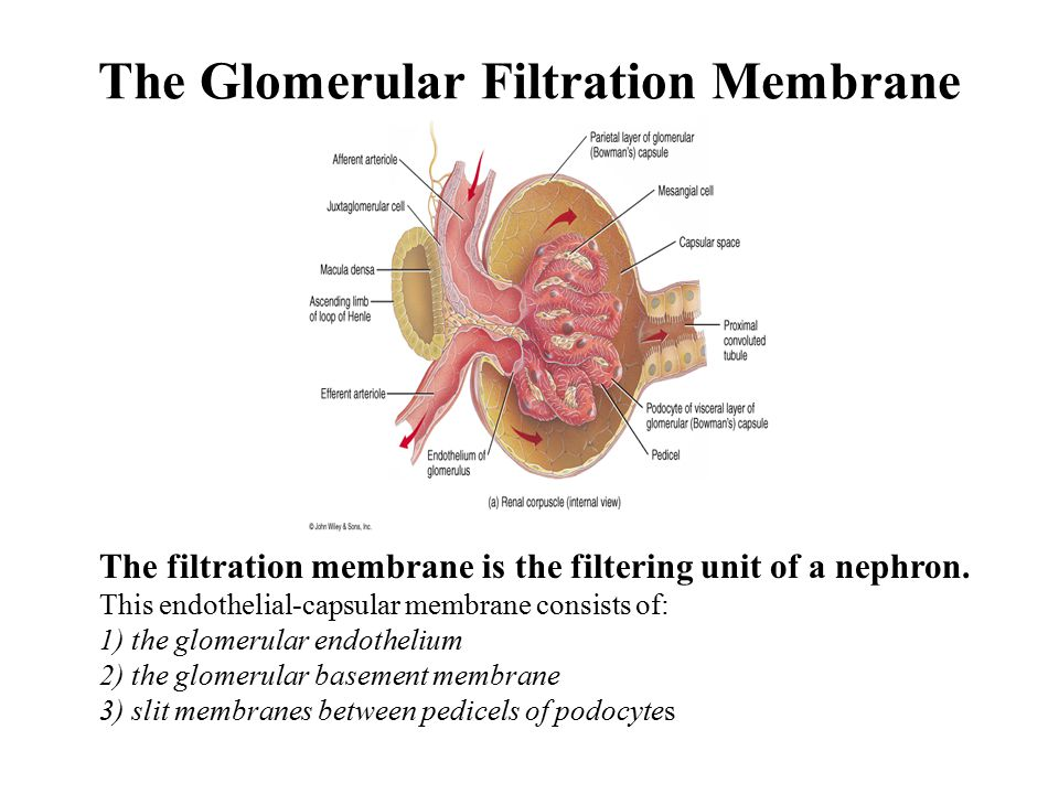 The Glomerular Filtration Membrane The filtration membrane is the filtering unit of a nephron.