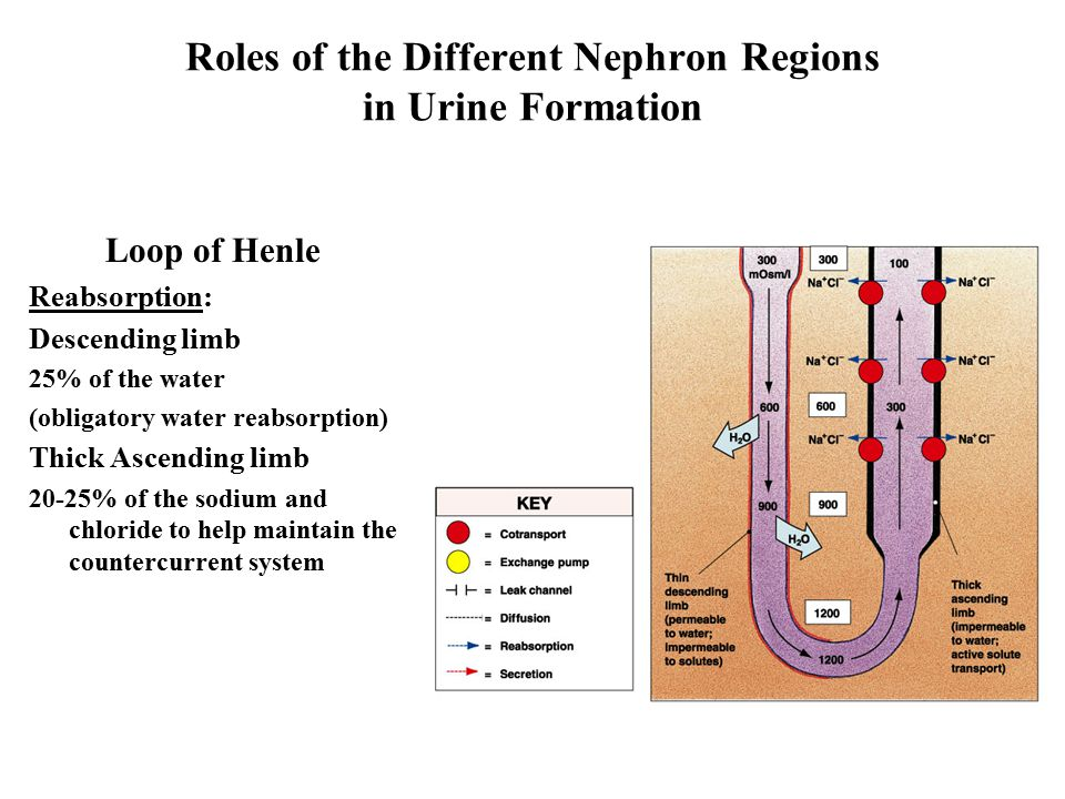 Roles of the Different Nephron Regions in Urine Formation Loop of Henle Reabsorption: Descending limb 25% of the water (obligatory water reabsorption) Thick Ascending limb 20-25% of the sodium and chloride to help maintain the countercurrent system