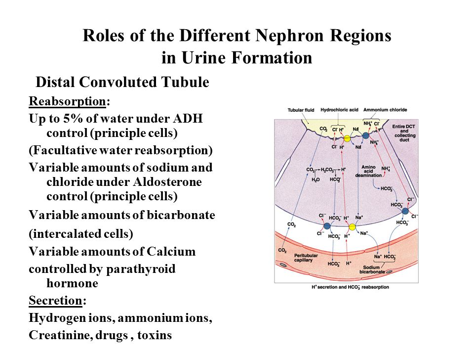 Roles of the Different Nephron Regions in Urine Formation Distal Convoluted Tubule Reabsorption: Up to 5% of water under ADH control (principle cells) (Facultative water reabsorption) Variable amounts of sodium and chloride under Aldosterone control (principle cells) Variable amounts of bicarbonate (intercalated cells) Variable amounts of Calcium controlled by parathyroid hormone Secretion: Hydrogen ions, ammonium ions, Creatinine, drugs, toxins