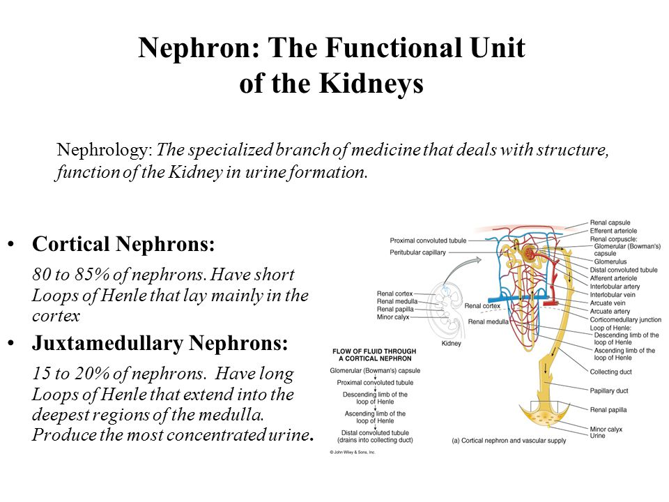 Nephron: The Functional Unit of the Kidneys Cortical Nephrons: 80 to 85% of nephrons.