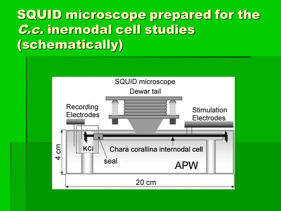 SQUID microscope prepared for the C.c. inernodal cell studies (schematically)