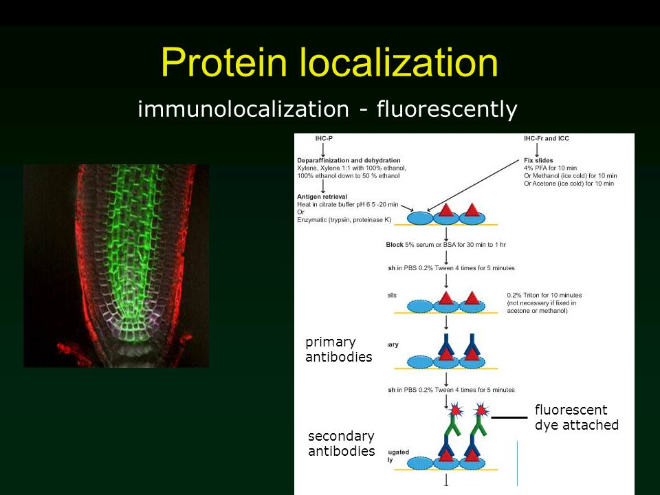 Protein localization immunolocalization - fluorescently fluorescent dye attached primary antibodies secondary antibodies