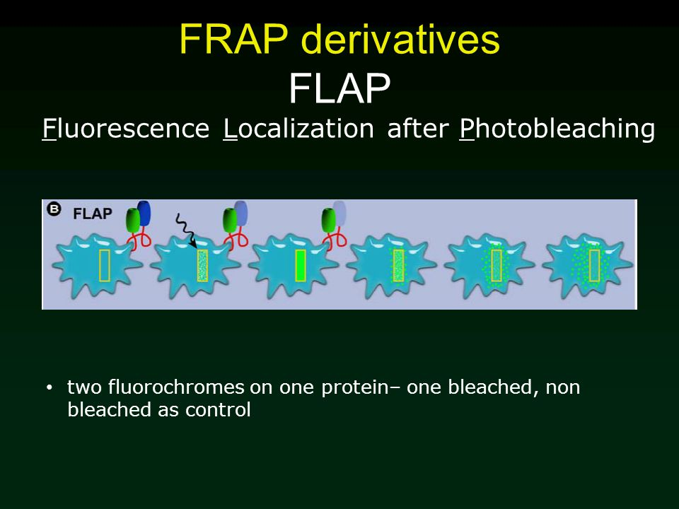 FRAP derivatives FLAP Fluorescence Localization after Photobleaching two fluorochromes on one protein– one bleached, non bleached as control
