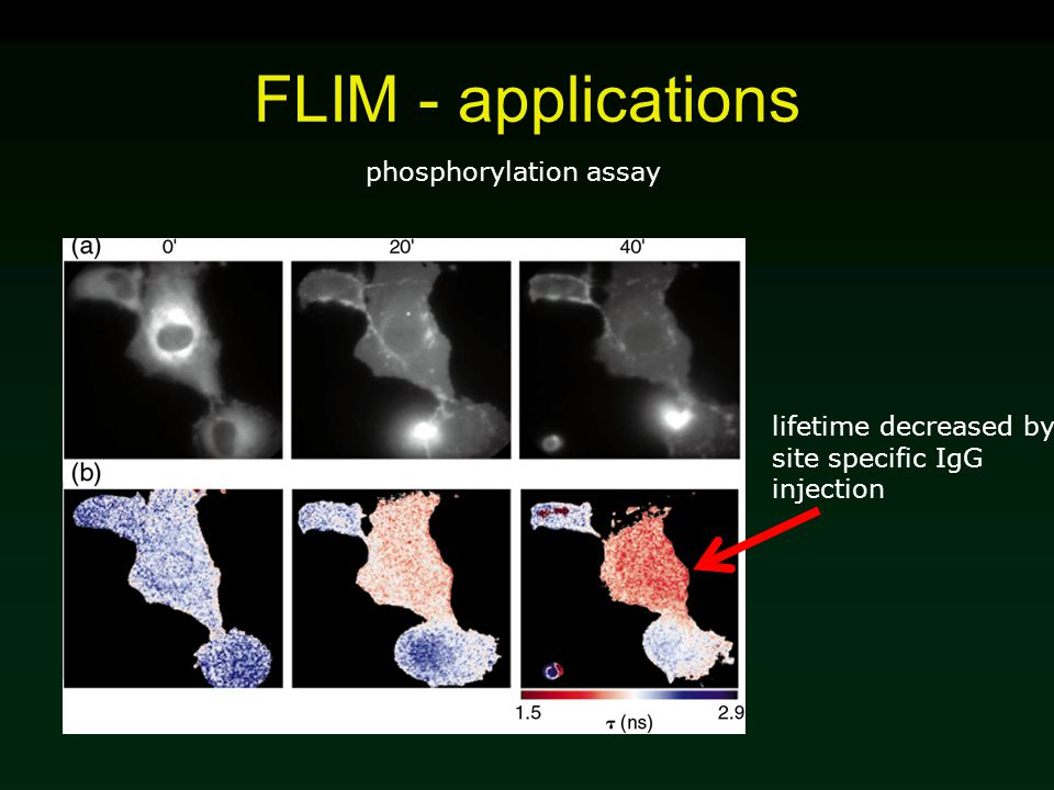 FLIM - applications lifetime decreased by site specific IgG injection phosphorylation assay