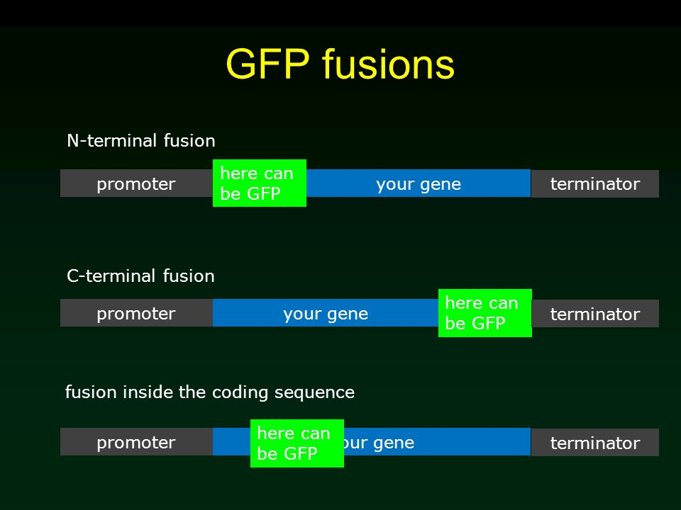 GFP fusions your genepromoter here can be GFP terminator your genepromoter terminator your genepromoter terminator here can be GFP N-terminal fusion C-terminal fusion fusion inside the coding sequence