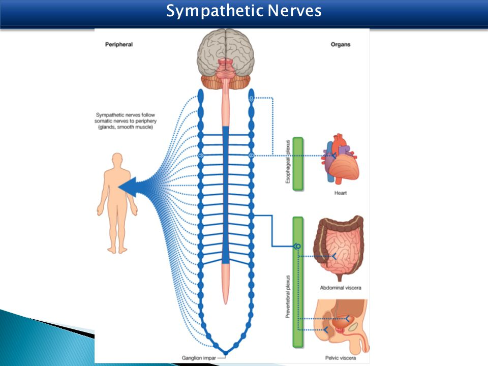 Parasympathetic Nerves