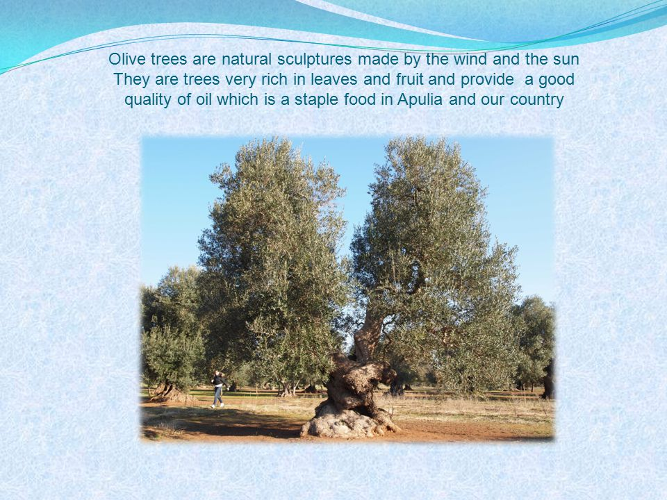 Olive trees are natural sculptures made by the wind and the sun They are trees very rich in leaves and fruit and provide a good quality of oil which is a staple food in Apulia and our country