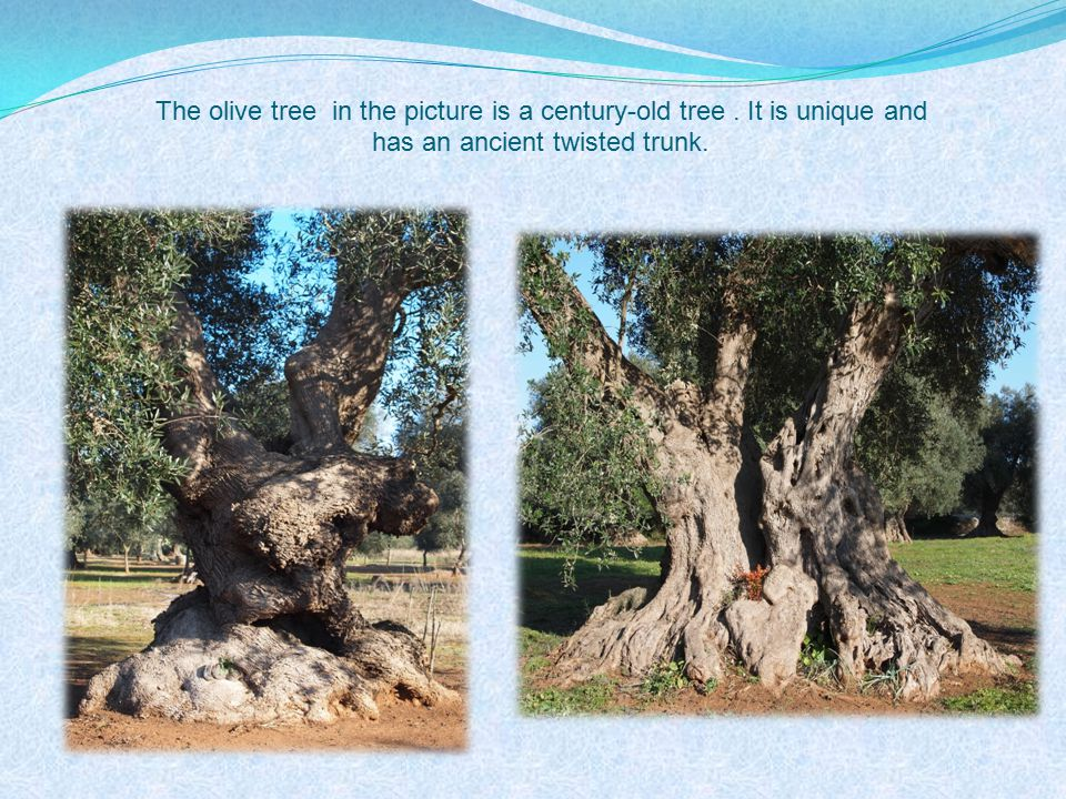 The olive tree in the picture is a century-old tree. It is unique and has an ancient twisted trunk.