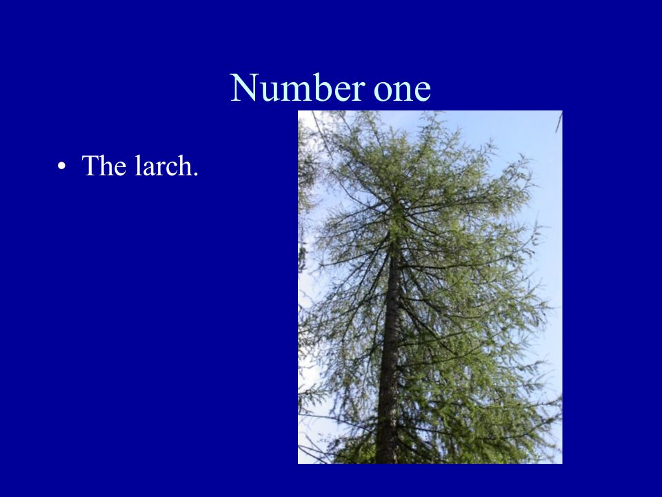 Number one The larch.