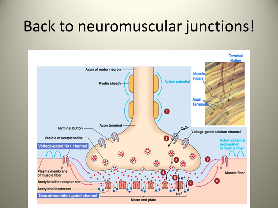Back to neuromuscular junctions!