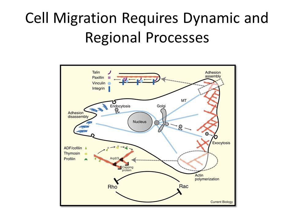 Cell Migration Requires Dynamic and Regional Processes