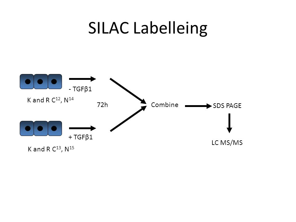 SILAC Labelleing + TGFβ1 - TGFβ1 72h K and R C 12, N 14 K and R C 13, N 15 Combine SDS PAGE LC MS/MS