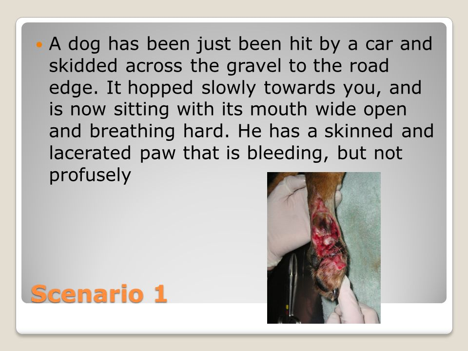 Scenario 1 A dog has been just been hit by a car and skidded across the gravel to the road edge.