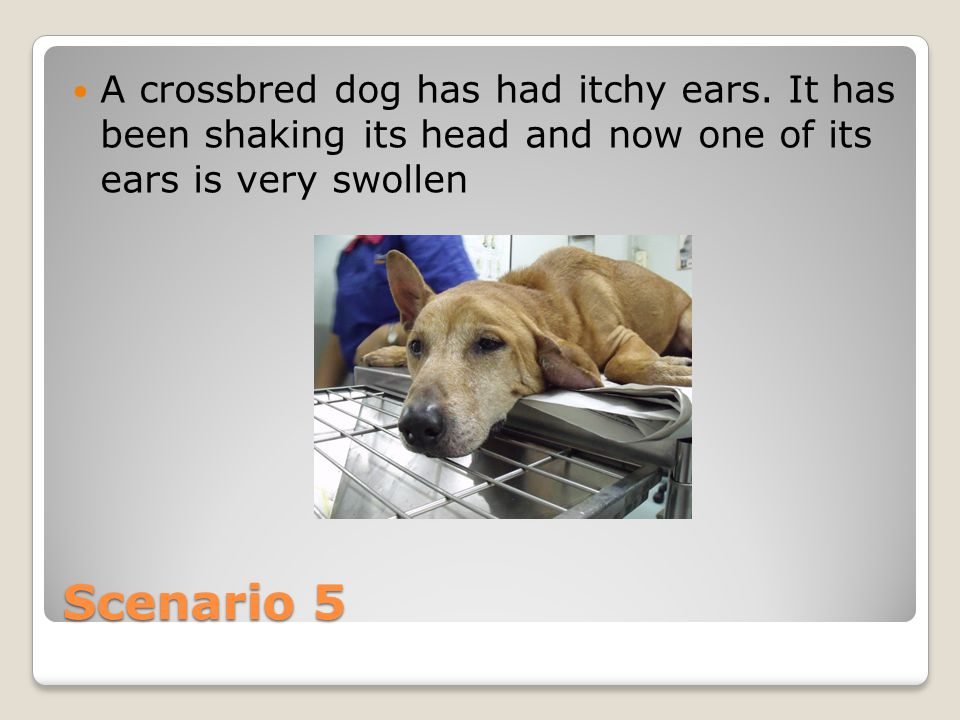 Scenario 5 A crossbred dog has had itchy ears.