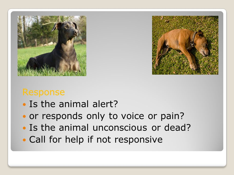 Response Response Is the animal alert. or responds only to voice or pain.