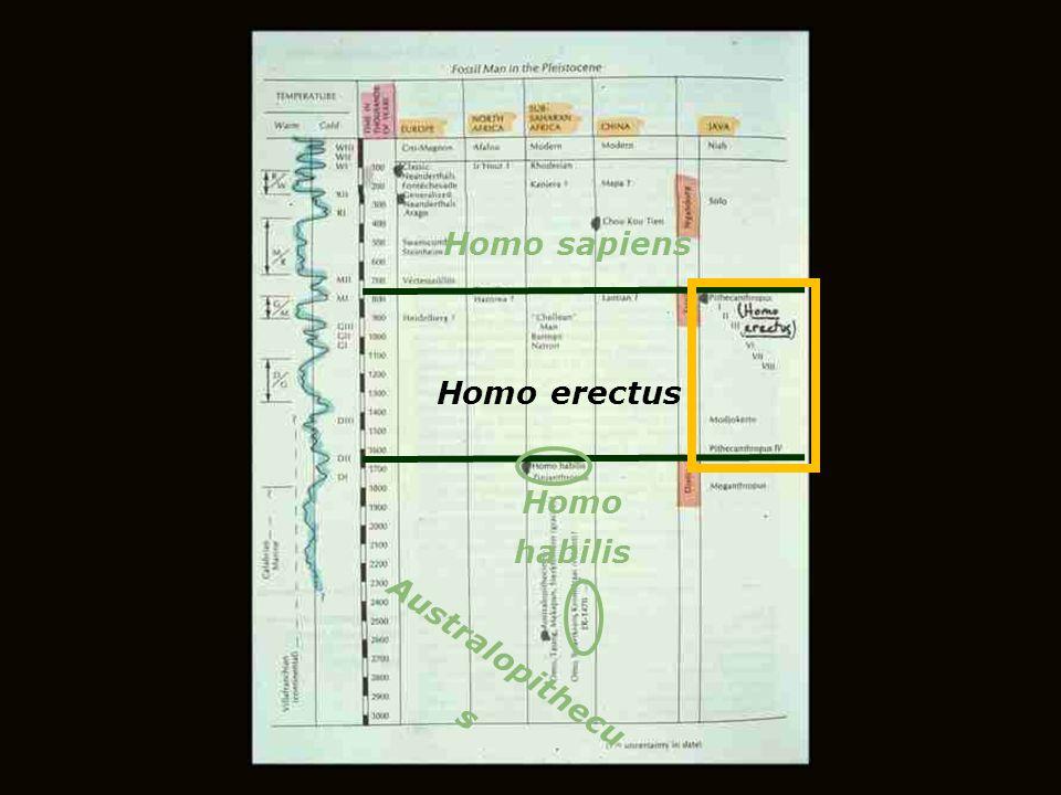 Australopithecu s Homo habilis Homo erectus Homo sapiens