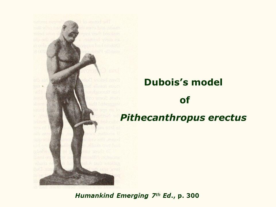 Dubois's model of Pithecanthropus erectus Humankind Emerging 7 th Ed., p. 300