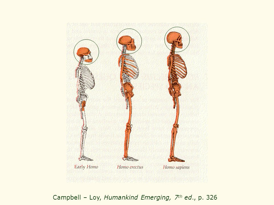 Campbell – Loy, Humankind Emerging, 7 th ed., p. 326