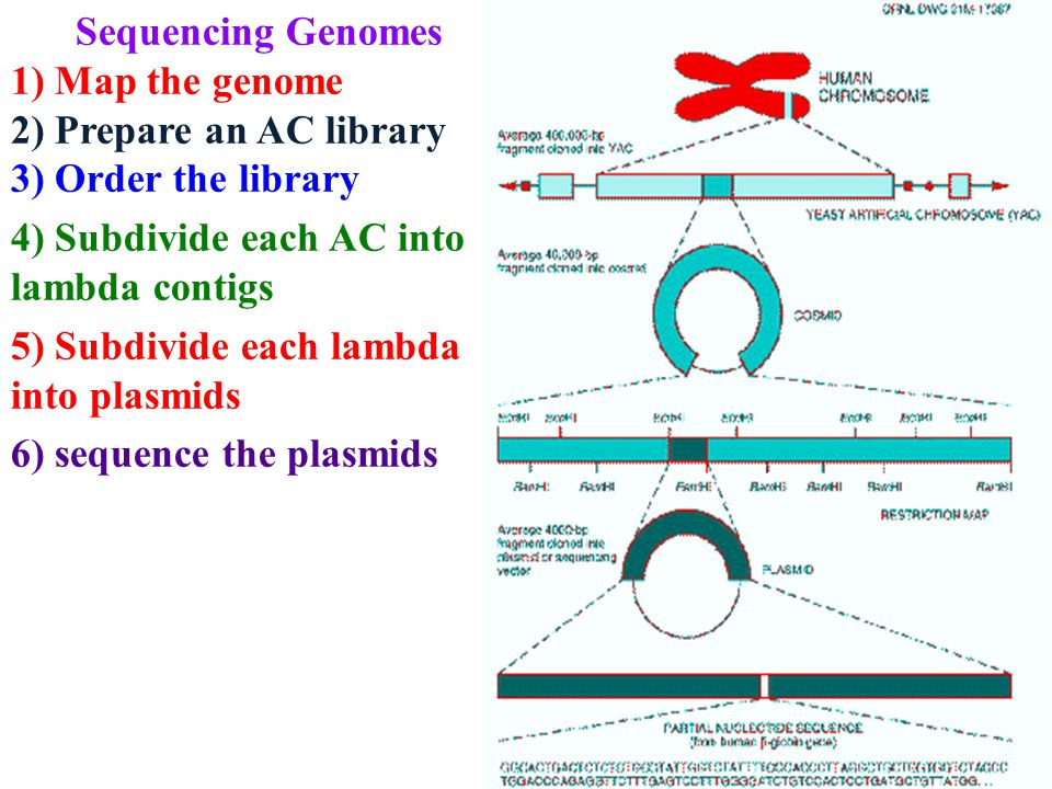Sequencing Genomes 1) Map the genome 2) Prepare an AC library 3) Order the library 4) Subdivide each AC into lambda contigs 5) Subdivide each lambda into plasmids 6) sequence the plasmids