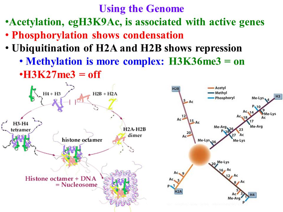 Using the Genome Acetylation, egH3K9Ac, is associated with active genes Phosphorylation shows condensation Ubiquitination of H2A and H2B shows repression Methylation is more complex: H3K36me3 = on H3K27me3 = off