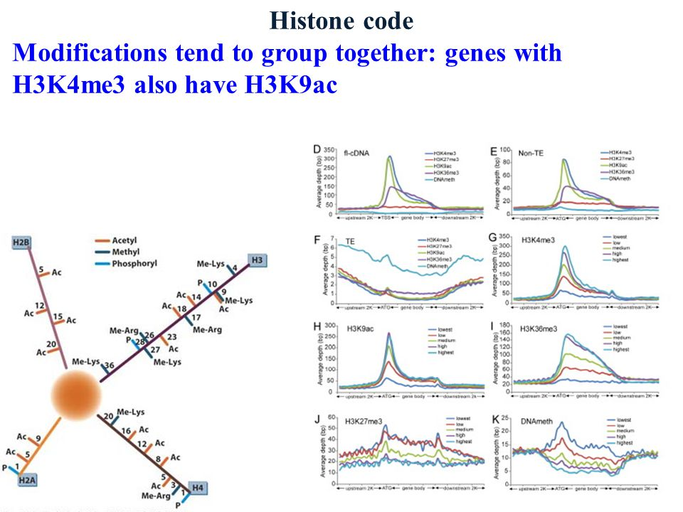 Histone code Modifications tend to group together: genes with H3K4me3 also have H3K9ac