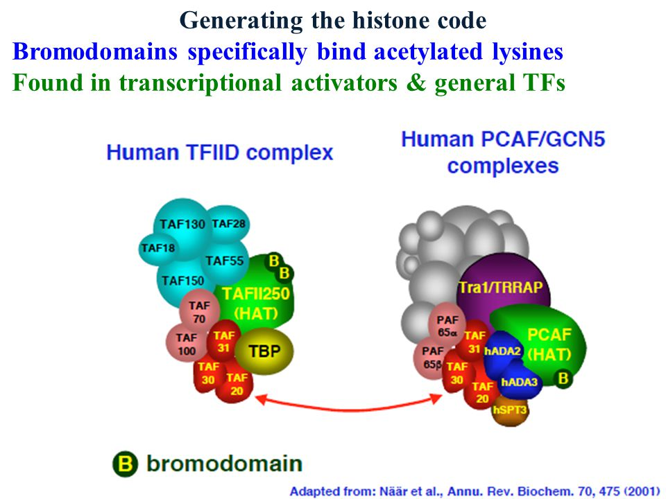 Generating the histone code Bromodomains specifically bind acetylated lysines Found in transcriptional activators & general TFs