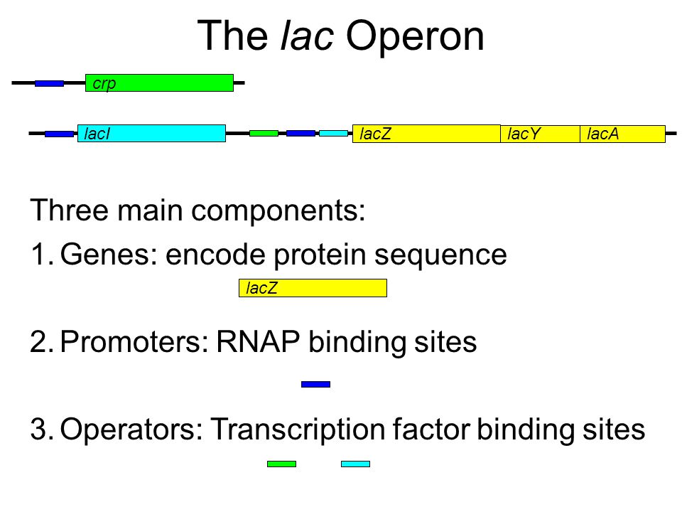crp lacI lacZ lacYlacA Three main components: 1.Genes: encode protein sequence 2.Promoters: RNAP binding sites 3.Operators: Transcription factor binding sites lacZ The lac Operon