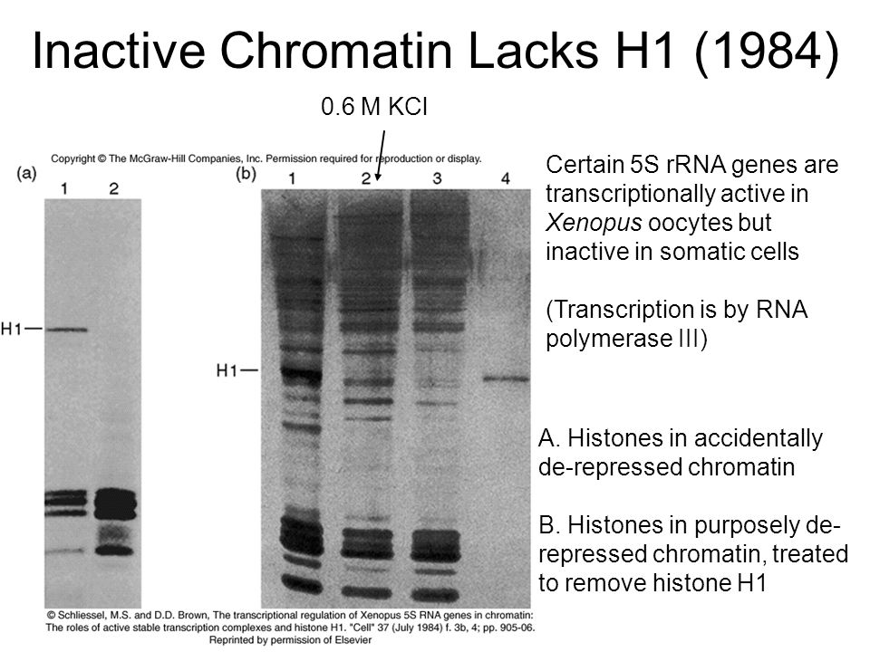 Inactive Chromatin Lacks H1 (1984) A. Histones in accidentally de-repressed chromatin B.