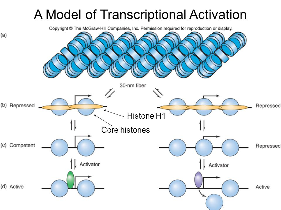 A Model of Transcriptional Activation Core histones Histone H1