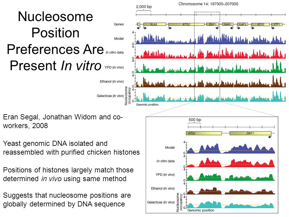 Nucleosome Position Preferences Are Present In vitro Yeast genomic DNA isolated and reassembled with purified chicken histones Positions of histones largely match those determined in vivo using same method Suggests that nucleosome positions are globally determined by DNA sequence Eran Segal, Jonathan Widom and co- workers, 2008