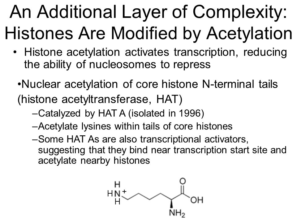 An Additional Layer of Complexity: Histones Are Modified by Acetylation Histone acetylation activates transcription, reducing the ability of nucleosomes to repress Nuclear acetylation of core histone N-terminal tails (histone acetyltransferase, HAT) –Catalyzed by HAT A (isolated in 1996) –Acetylate lysines within tails of core histones –Some HAT As are also transcriptional activators, suggesting that they bind near transcription start site and acetylate nearby histones H H +
