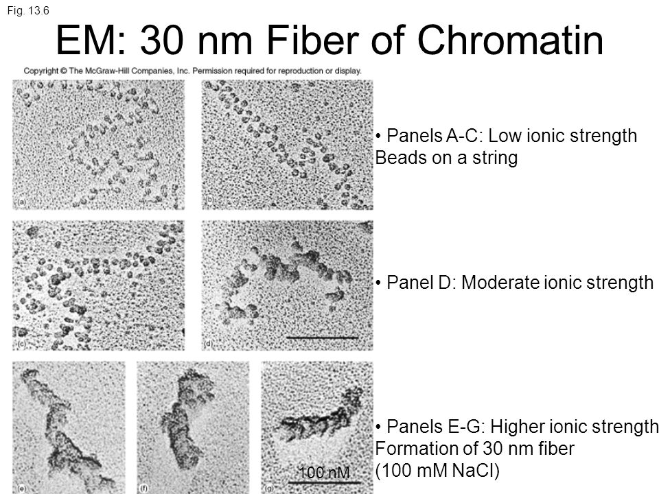 Fig. 13.6 EM: 30 nm Fiber of Chromatin Panels A-C: Low ionic strength Beads on a string Panel D: Moderate ionic strength Panels E-G: Higher ionic stre