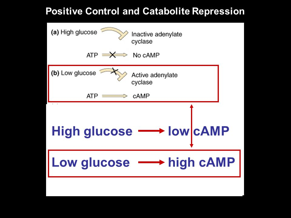 High glucose low cAMP Low glucose high cAMP Positive Control and Catabolite Repression