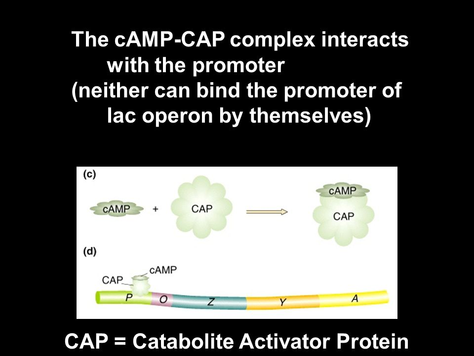 The cAMP-CAP complex interacts with the promoter (neither can bind the promoter of lac operon by themselves) CAP = Catabolite Activator Protein