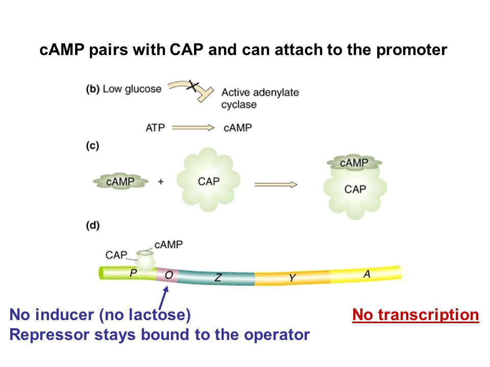 No inducer (no lactose) No transcription Repressor stays bound to the operator cAMP pairs with CAP and can attach to the promoter